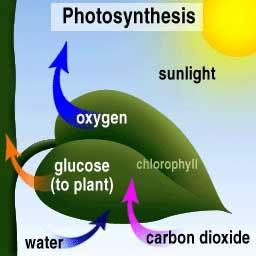 http://biotransitioneng.files.wordpress.com/2009/05/photosynthesis0.jpg