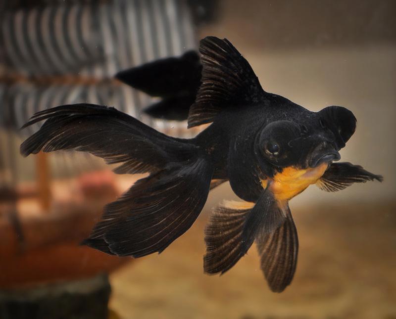 6. Black Telescope Eyes Goldfish