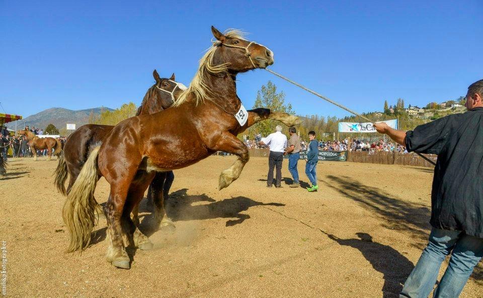 Resultado de imagen de feria de caballos de puigcerda