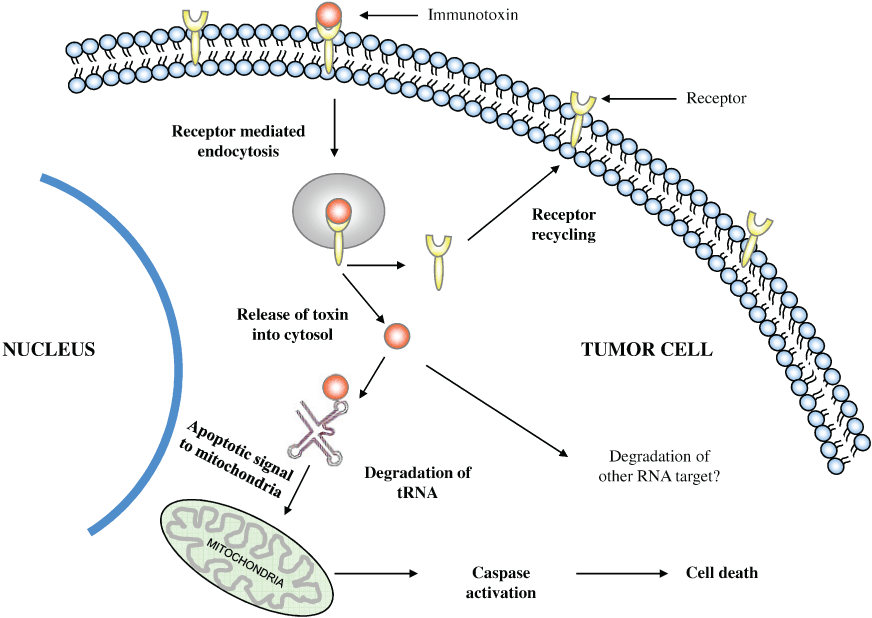 Drug delivery with protein conjugates