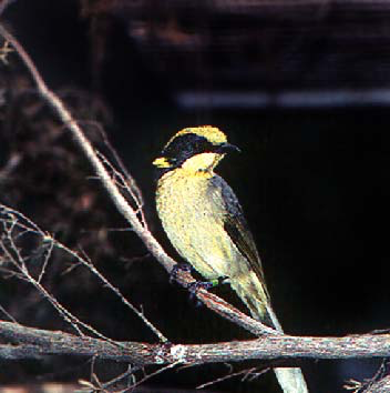 Helemeted honeyeater, full pigmentation