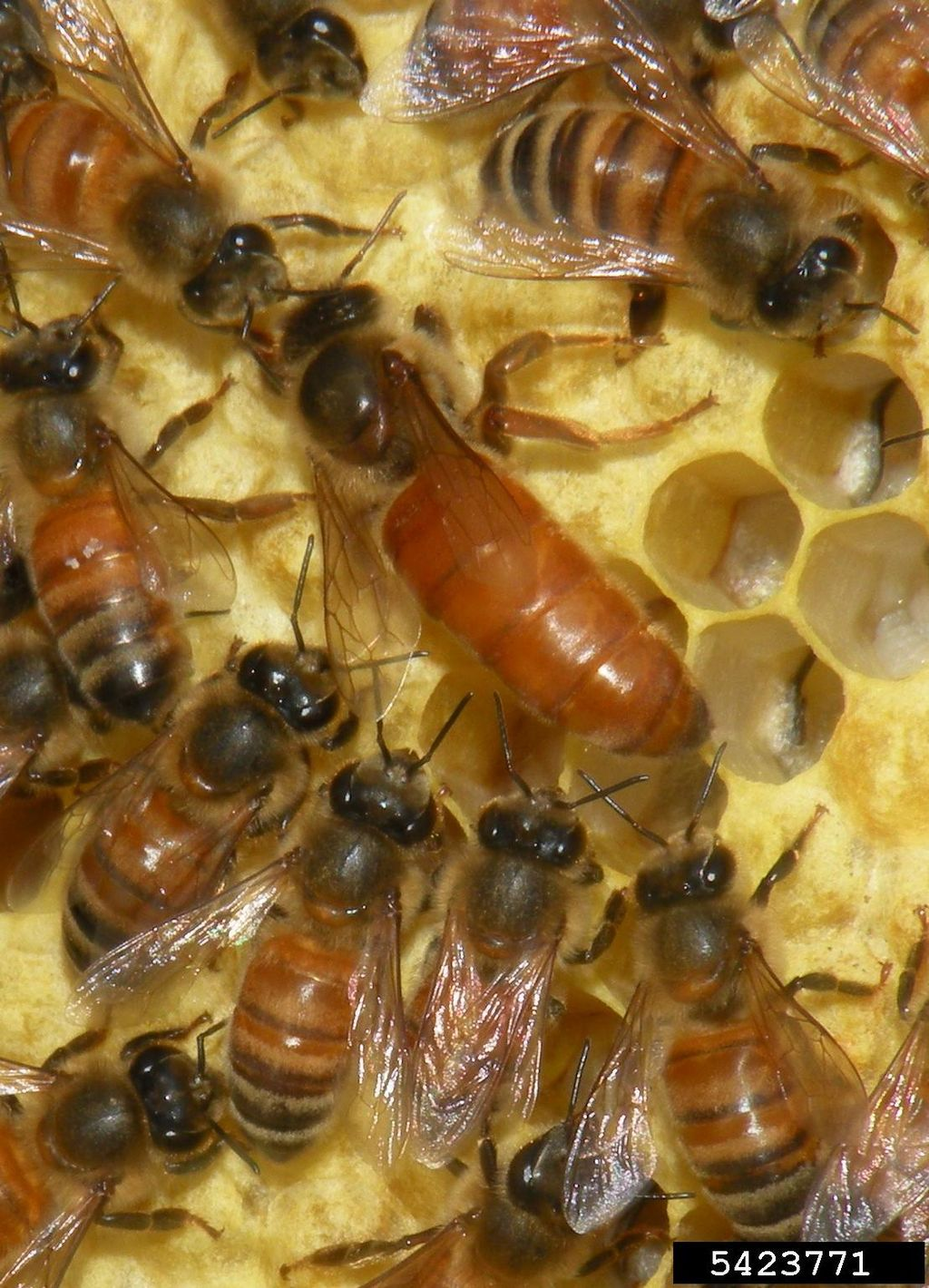 1024px-Apis_mellifera_(queen_and_workers).jpg