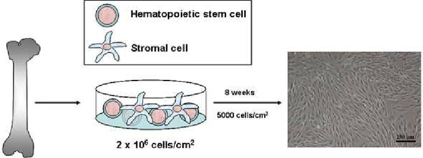 Schematic illustration of the isolation of mouse bone marrow MSC. Bone... |  Download Scientific Diagram