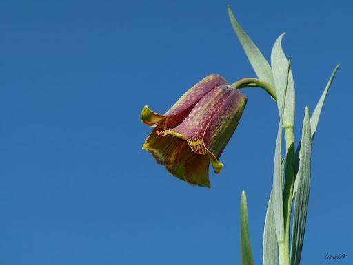 Fleurs des champs Fritilaire1340413