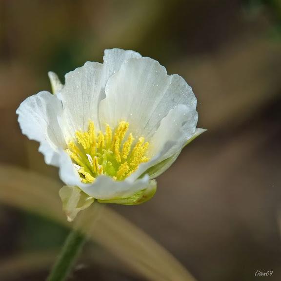 Fleurs des champs Petite%20fleur