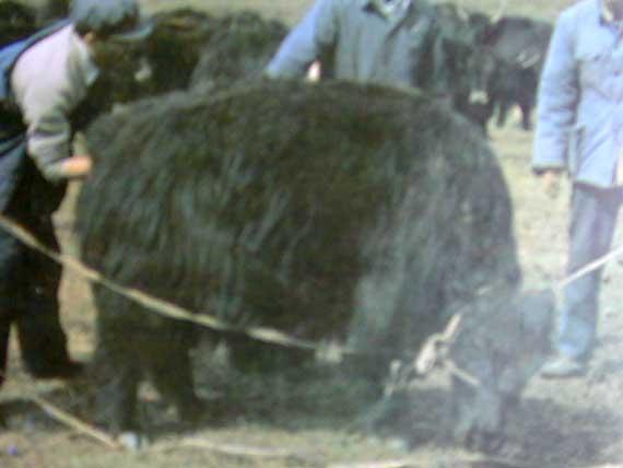 Insemination of female yaks.