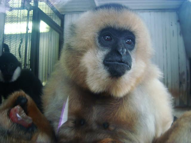 Gibbon czubaty