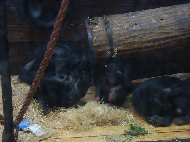 Stado szympansów