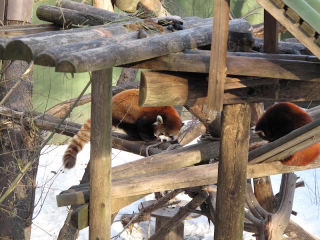 Wybieg pand małych z lokatorami