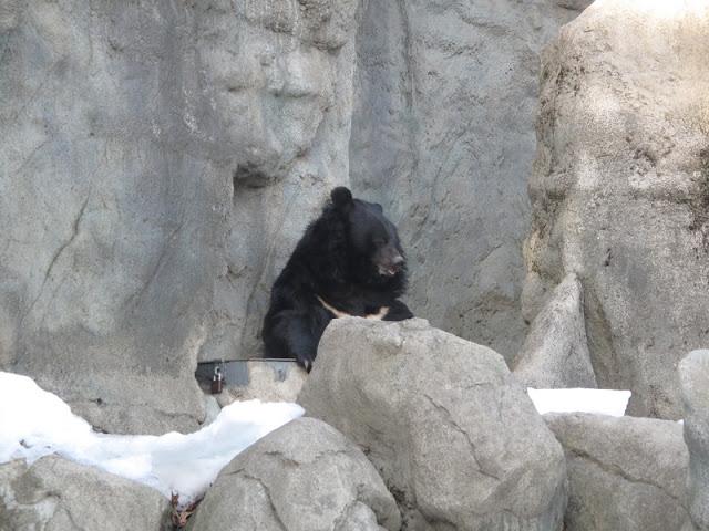 Niedźwiedź himalajski na swojej skale
