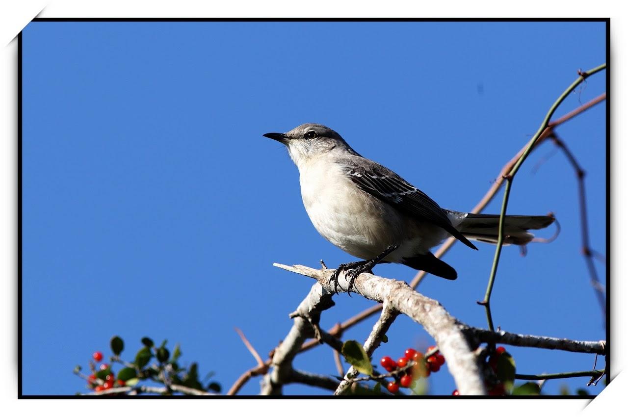 点看全图 【原创】德州州鸟--Mocking Bird -- 西西河 注册 登录 忘了密码 网站