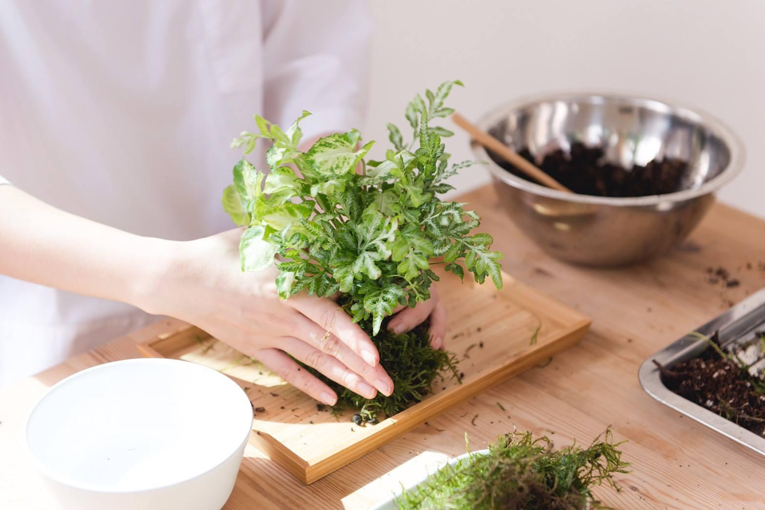 苔球DIY-以苔蘚包覆植栽