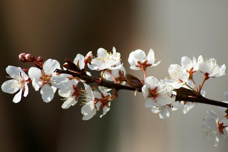 Flor de ameixoeira