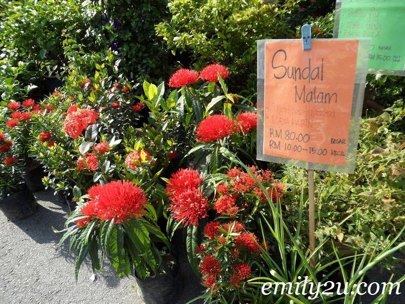 bunga Sundal Malam Polianthes tuberosa
