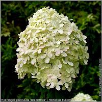 Hydrangea paniculata 'Grandiflora' - Hortensja bukietowa