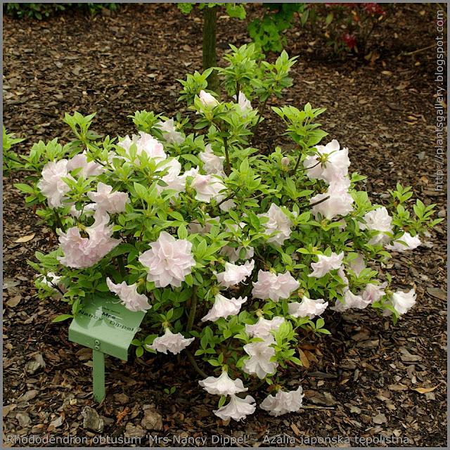Rhododendron obtusum 'Mrs Nancy Dippel' - Azalia japońska tępolistna