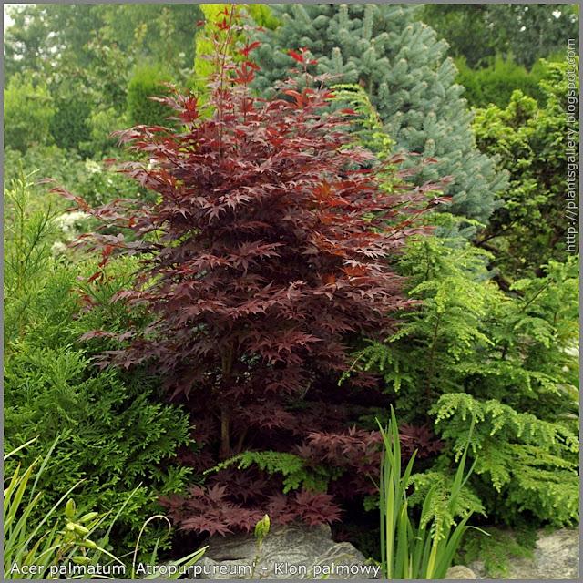Acer palmatum 'Atropurpureum' - Klon palmowy 'Atropurpureum'