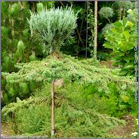 Juniperus communis 'Green Carpet' - Jałowiec pospolity 'Green Carpet'