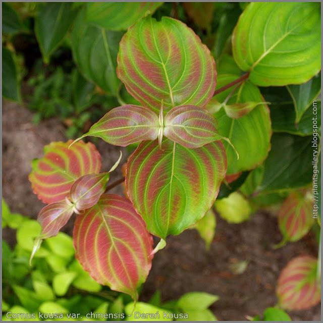 Cornus kousa var. chinensis young leaves - Dereń Kousa młode liście
