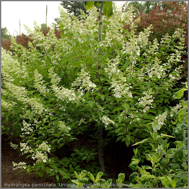 Hydrangea paniculata 'Unique' - Hortensja bukietowa 'Unique' pokrój