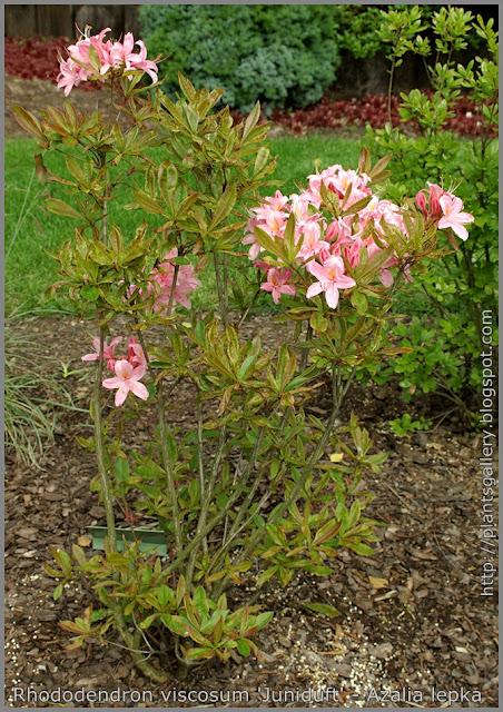 Rhododendron viscosum 'Juniduft' - Azalia lepka  'Juniduft'