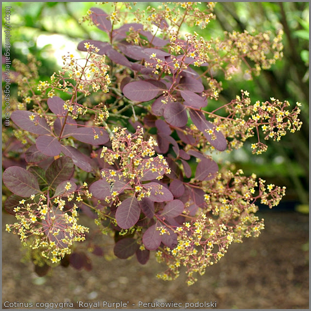 Cotinus coggygria 'Royal Purple' - Perukowiec podolski  'Royal Purple'