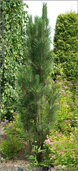 Pinus nigra 'Scholz' - Sosna czarna
