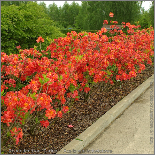 Rhododendron 'Sarina' - Azalia wielkokwiatowa  'Sarina'