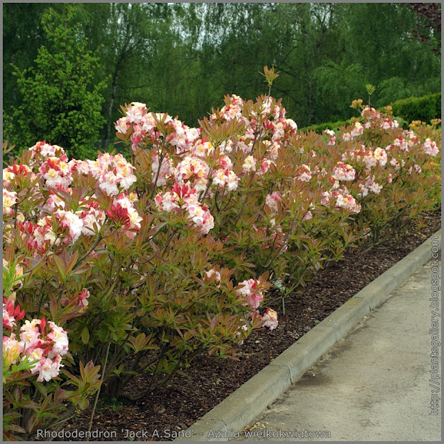 Rhododendron 'Jack A. Sand' - Azalia wielkokwiatowa 'Jack A. Sand'