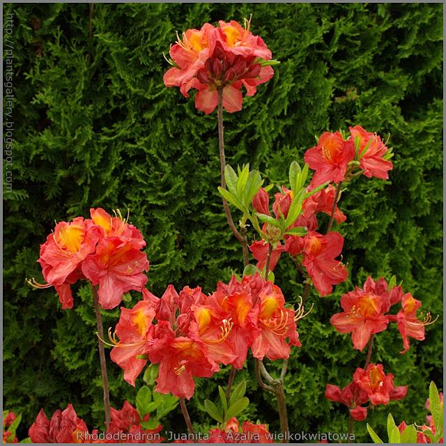 Rhododendron 'Juanita' - Azalia wielkokwiatowa 'Juanita'