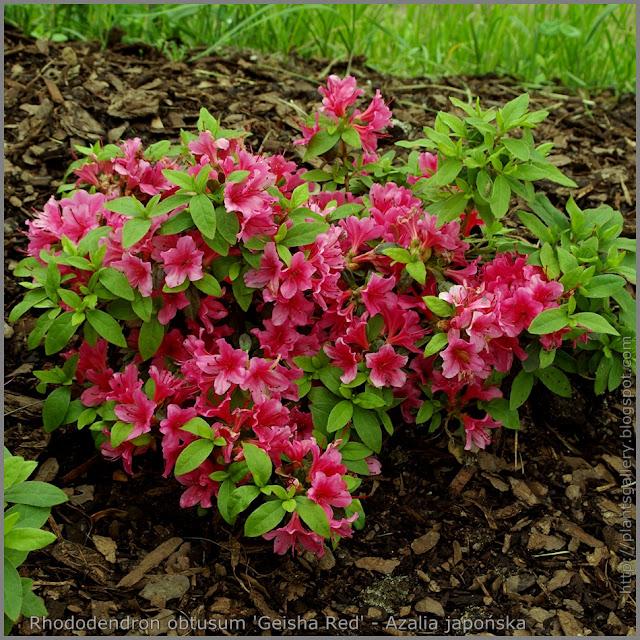 Rhododendron obtusum 'Geisha Red' - Azalia japońska 'Geisha Red'