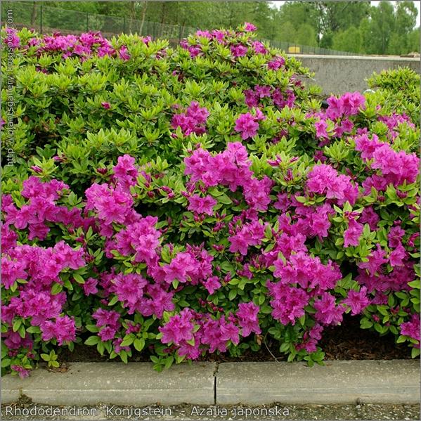 Rhododendron  obtusum   'Konigstein'  - Azalia japońska 'Konigstein'