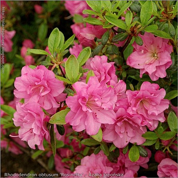 Rhododendron obtusum 'Rosinetta' - Azalia japońska 'Rosinetta'