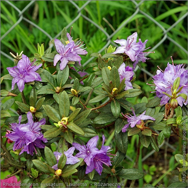 Rhododendron russatum 'Lauretta' - Różanecznik 'Lauretta'