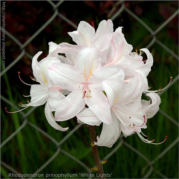 Rhododendron 'White Lights' -  Azalia 'White Lights'