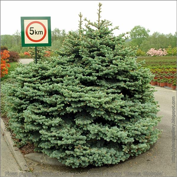 Picea pungens 'Glauca Globosa' - Świerk kłujący 'Glauca Globosa'
