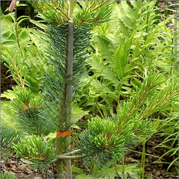 Pinus parviflora 'Green Monkey' - Sosna drobnokwiatowa 'Green Monkey'