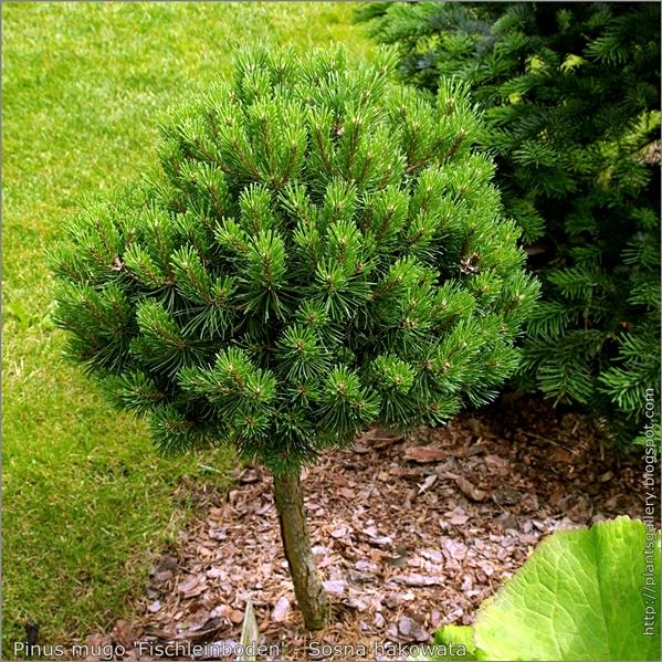 Pinus mugo 'Fischleinboden' - Sosna hakowata