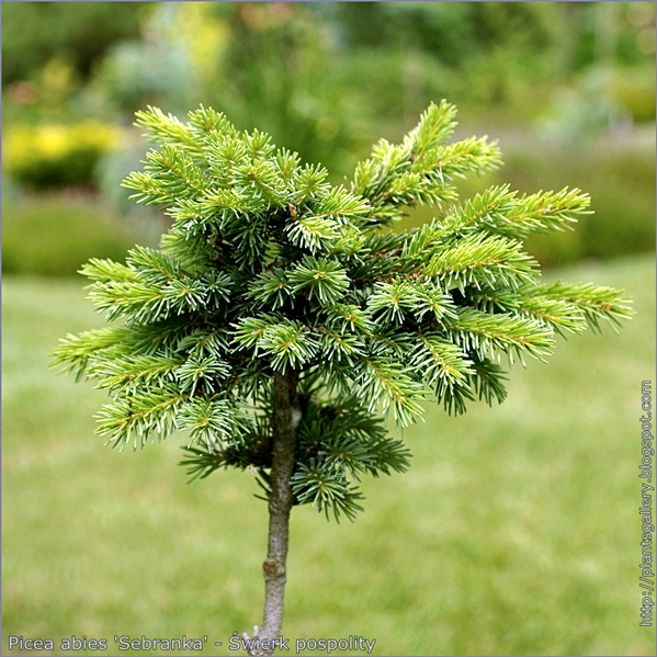 Picea abies 'Sebranka' - Świerk pospolity