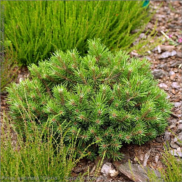 Pinus uncinata 'Gloria' - Sosna hakowata