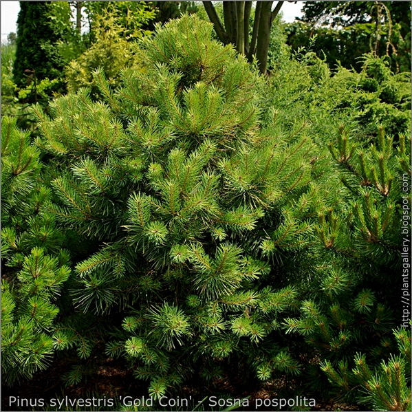 Pinus sylvestris 'Gold Coin' - Sosna pospolita