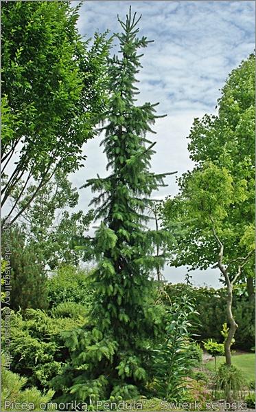Picea omorika 'Pendula' - Świerk serbski