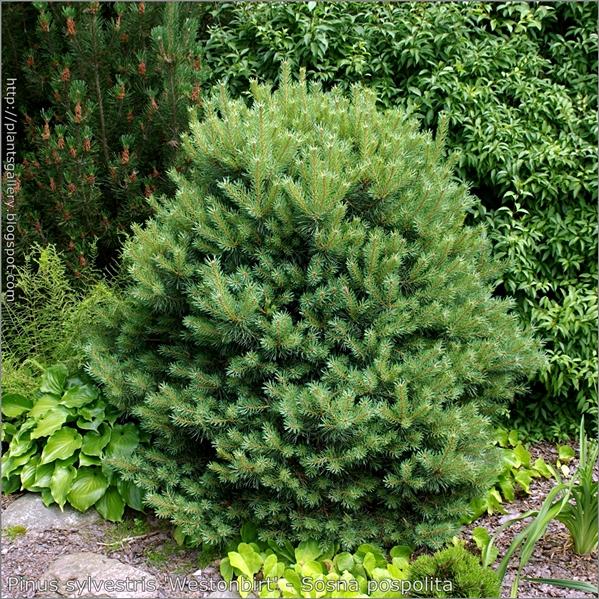 Pinus sylvestris 'Westonbirt' - Sosna pospolita