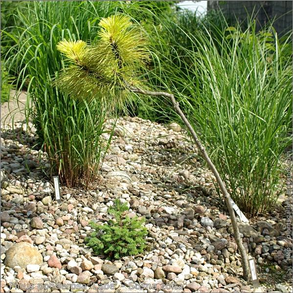 Pinus ponderosa 'Labe' - Sosna żółta