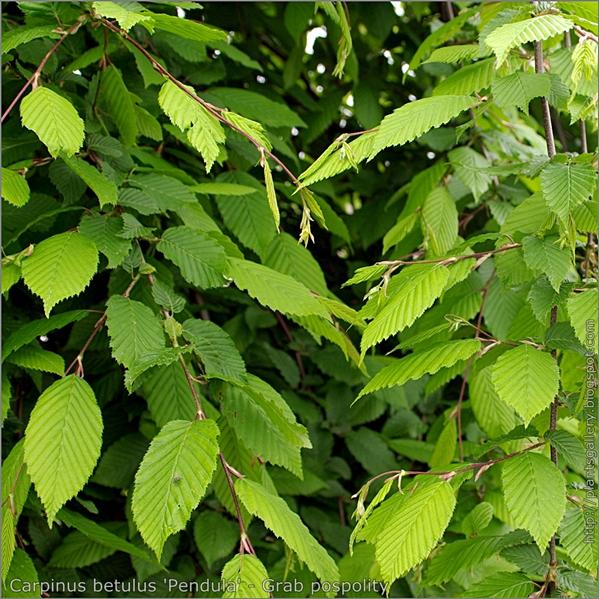 Carpinus betulus 'Pendula' - Grab pospolity
