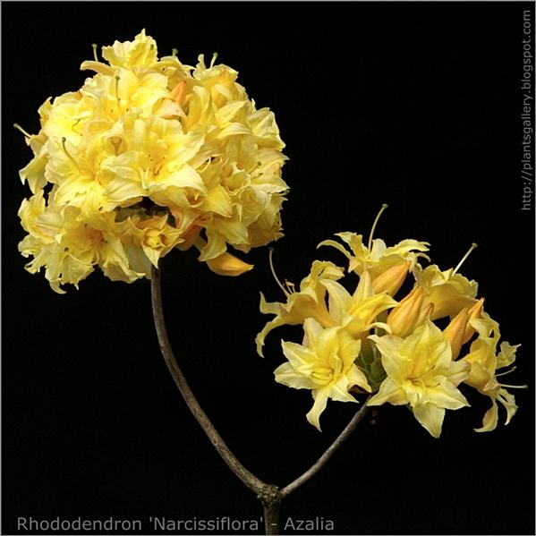 Rhododendron 'Narcissiflora' - Azalia
