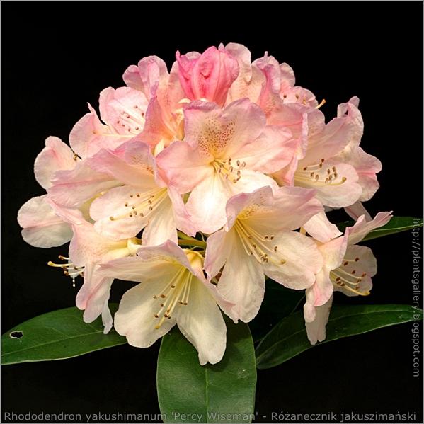 Rhododendron yakushimanum 'Percy Wiseman' - Różanecznik jakuszimański