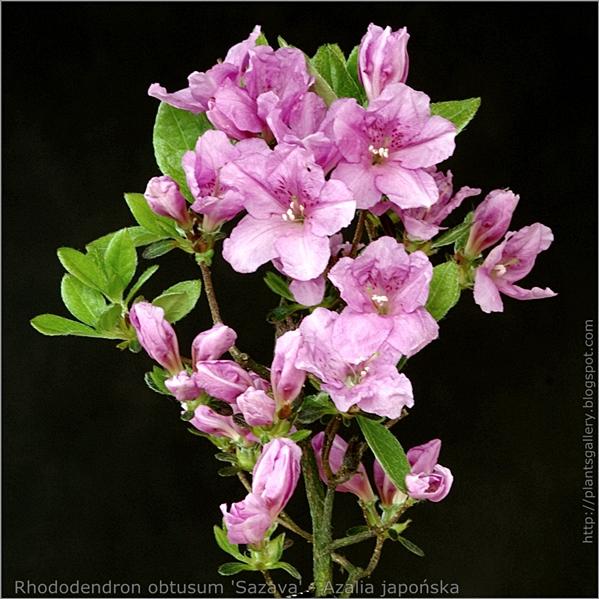 Rhododendron obtusum 'Sazava' - Azalia japońska