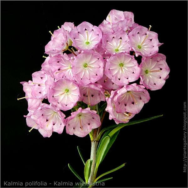 Kalmia polifolia - Kalmia wielolistna
