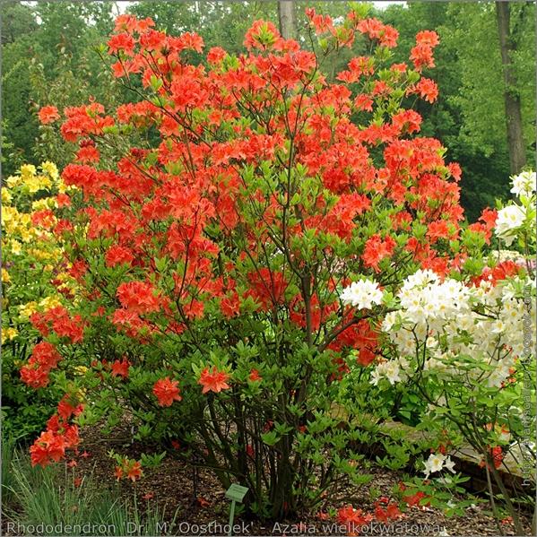 Rhododendron 'Dr. M. Oosthoek' - Azalia wielkokwiatowa 'Dr. M. Oosthoek'